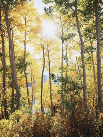 California, Sierra Nevada, Inyo Nf, Suns Rays Through Autumn Aspens by Christopher Talbot Frank