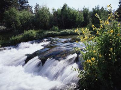California, Sierra Nevada Mts, Inyo Nf, Flowers Along the Owens River by Christopher Talbot Frank