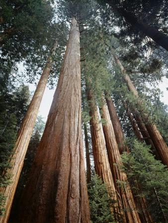 California, Sierra Nevada. Old Growth Sequoia Redwood Trees