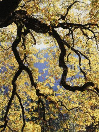 California, Sierra Nevada, Yosemite National Park, Backlit California Black Oaks