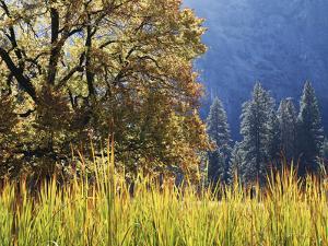 California, Sierra Nevada, Yosemite National Park, Cattails and Black Oak by Christopher Talbot Frank