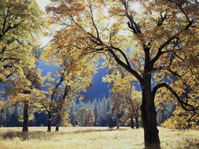 California, Yosemite National Park, California Black Oak Trees in a Meadow