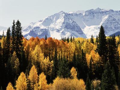 Colorado, San Juan Mountains, Autumn Aspens Below Snowy Mountains