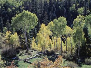 Colorado, San Juan Mts, Uncompahgre Nf, Fall Colors of Aspens by Christopher Talbot Frank