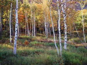Maine, Acadia National Park, Autumn Colors of White Birch, Betula Papyrifera by Christopher Talbot Frank