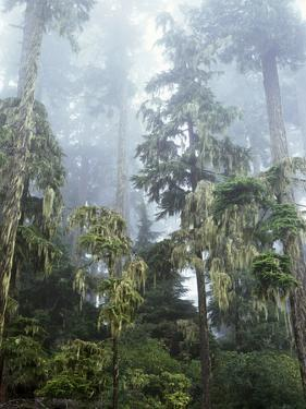Moss Covered Old Growth Douglas Fir Trees in the Rainforest. Oregon by Christopher Talbot Frank