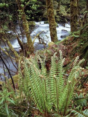 Oregon, Umpqua National Forest, a Fern Growing Along Little River by Christopher Talbot Frank