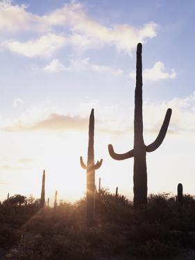 Saguaro Cacti, Carnegiea Gigantea, at Sunset in the Sonoran Desert by Christopher Talbot Frank