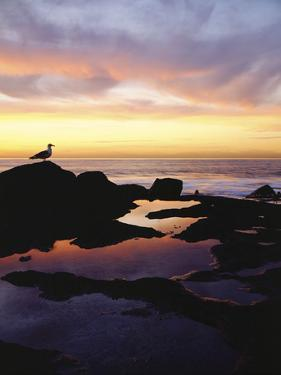 Seagull at Sunset Cliffs Tidepools on the Pacific Ocean, San Diego, California, USA by Christopher Talbot Frank