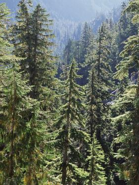 Strathcona Provincial Park, Vancouver Island, the Dense Rainforest by Christopher Talbot Frank