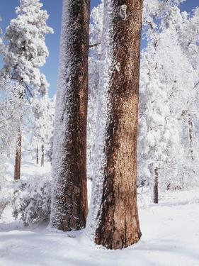 Us, Ca, Cleveland Nf, Laguna Mts, Woodpecker Holes on Ponderosa Pine by Christopher Talbot Frank