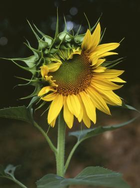 USA, California, a Partially Open Sunflower by Christopher Talbot Frank