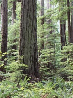 Vancouver Island, Old Growth Douglas Fir in Cathedral Grove by Christopher Talbot Frank