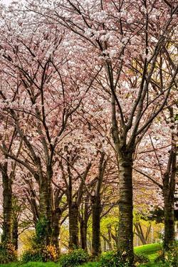 Cherries in Bloom by Chuck Burdick