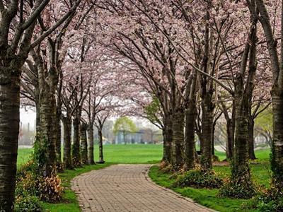 Cherry Blossom Path by Chuck Burdick