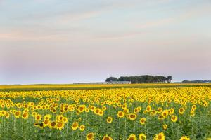 Amtrak Train Passes by Field of Sunflowers in Michigan, North Dakota, USA by Chuck Haney