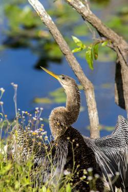 Anhinga Drying its Wings, Anhinga Trail, Everglades NP, Florida by Chuck Haney