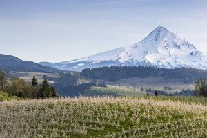 Apple Orchard in Blood with Mount Hood in the Background, Oregon, USA by Chuck Haney