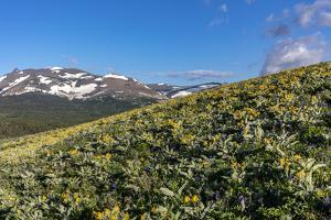 Arrowleaf balsamroot wildflowers along the Rocky Mountain Front near East Glacier, Montana, USA by Chuck Haney