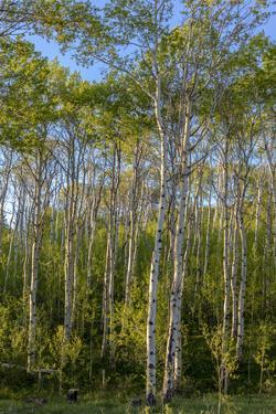 Aspen grove with spring growth near East Glacier, Montana, USA by Chuck Haney