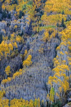 Autumn Aspen Patterns in the White River National Forest Near Aspen, Colorado, Usa by Chuck Haney