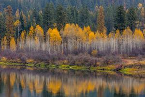 Autumn Aspens Reflect into the Pend Oreille River, Washington by Chuck Haney