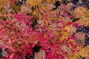 Autumn ferns and ground cover in burn area above St. Mary Lake in Glacier National Park, Montana by Chuck Haney