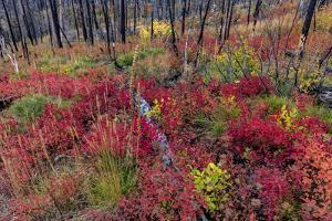 Autumn ground cover in burn area above St. Mary Lake in Glacier National Park, Montana, USA by Chuck Haney