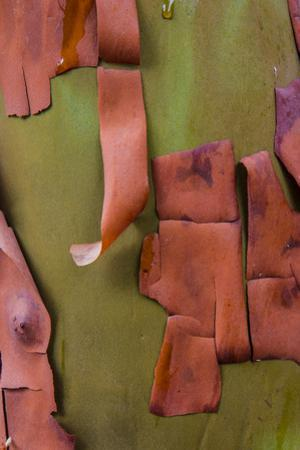 Bark peels from arbutus tree in Ganges, British Columbia, Canada by Chuck Haney