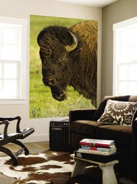 Bison Bull at the National Bison Range, Montana, USA by Chuck Haney