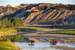Bison Wildlife Crossing Little Missouri River, Theodore Roosevelt National Park, North Dakota, USA by Chuck Haney