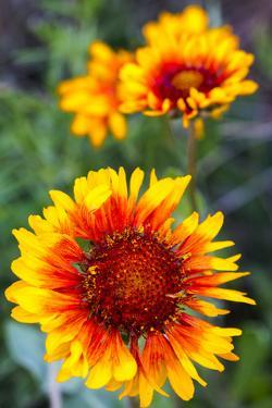 Blanket Flower Aka Brown Eyed SUSAn in Glacier National Park, Montana, USA by Chuck Haney