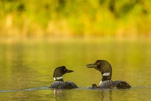 Breeding pair of common loons with newborn chick on Beaver Lake near Whitefish, Montana, USA by Chuck Haney
