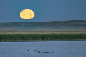 Canada goose family as full moon sets over prairie pond in Medicine Lake NWR, Montana, USA by Chuck Haney