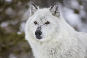 Captive gray wolf portrait at the Grizzly and Wolf Discovery Center in West Yellowstone, Montana by Chuck Haney