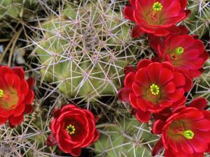 Claret Cup Cactus Flowering on Gooseberry Mesa, Utah, USA by Chuck Haney
