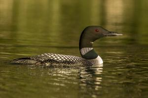 Common loon male on Beaver Lake near Whitefish, Montana, USA. by Chuck Haney