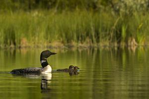 Common loon with pair of newborn chick on small mountain lake near Whitefish, Montana, USA by Chuck Haney