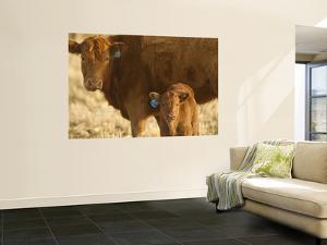 Crossbred Cow With Calf Near Choteau, Montana, USA by Chuck Haney