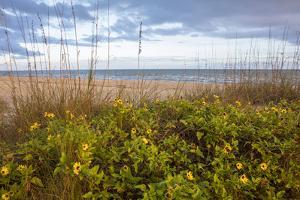 Dune sunflowers and sea oats along Sanibel Island beach in Florida, USA by Chuck Haney