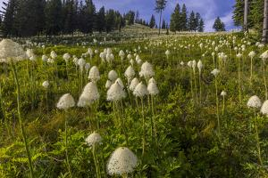 Epic bear grass bloom on Big Mountain in Whitefish, Montana, USA by Chuck Haney