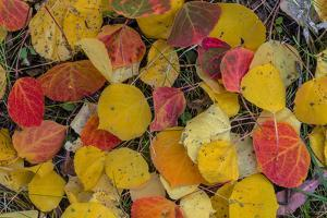 Fallen Aspen Leaves Carpet the Forest Floor in the Uncompahgre National Forest, Colorado, Usa by Chuck Haney
