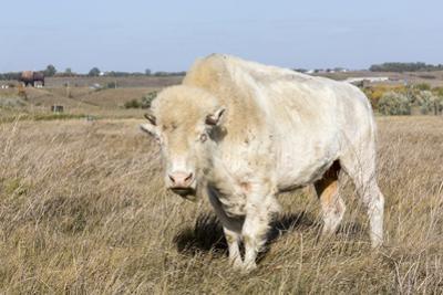Female Albino Buffalo, White Cloud, Jamestown, North Dakota, USA by Chuck Haney