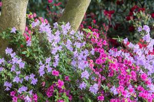 Floral Display, Crystal Springs Rhododendron Garden, Oregon, USA by Chuck Haney