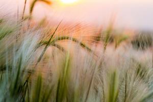 Foxtail Barley Agriculture Near Regent, North Dakota, USA by Chuck Haney