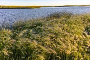 Foxtail barley along Medicine Lake National Wildlife Refuge, Montana, USA by Chuck Haney