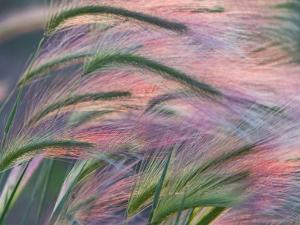 Foxtail Barley Backilt Near East Glacier, Montana, USA by Chuck Haney
