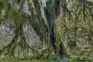 Hall of Mosses in the Hoh Rainforest of Olympic National Park, Washington State, USA by Chuck Haney