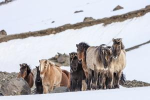 Icelandic Horses in Winter Pasture Near Hofn, Iceland by Chuck Haney