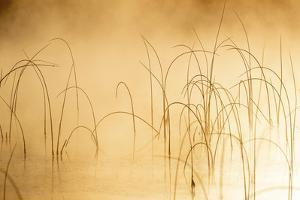 Icy reeds at sunrise on cold morning at Spencer Lake near Whitefish, Montana, USA by Chuck Haney